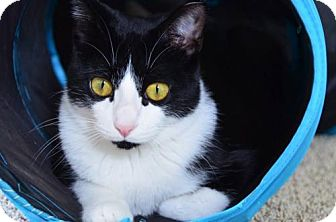 Domestic Shorthair Cat for adoption in Walled Lake, Michigan - Tinker