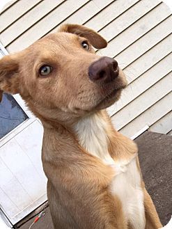 Labrador Retriever/Golden Retriever Mix Dog for adoption in Enid, Oklahoma - Phoenix