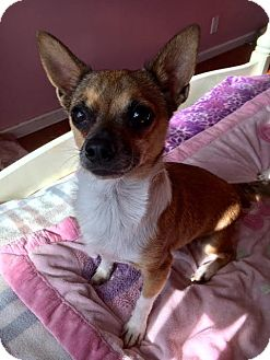Rat Terrier/Chihuahua Mix Dog for adoption in Van Nuys, California - Danza