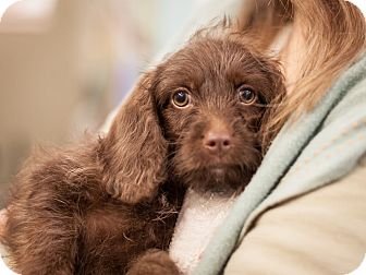 Spaniel (Unknown Type) Mix Puppy for adoption in Dallas, Texas - Lindsey
