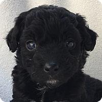 Adopt A Pet :: Zach - La Costa, CA