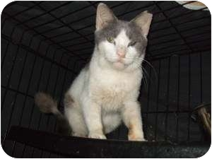 Domestic Shorthair Cat for adoption in Fort Lauderdale, Florida - Bailey