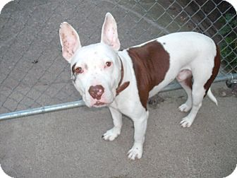 Bull Terrier/American Staffordshire Terrier Mix Dog for adoption in Birmingham, Michigan - JASPER