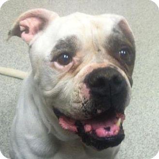 American Bulldog Mix Dog for adoption in Mansfield, Ohio - Dino
