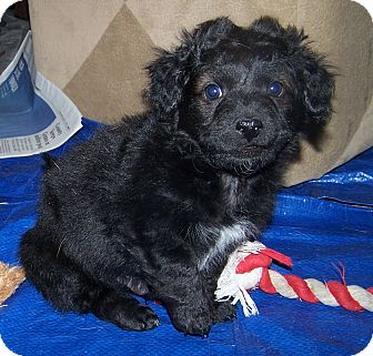 Cockapoo/Jack Russell Terrier Mix Puppy for adoption in La Habra Heights, California - Bam Bam