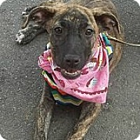 Adopt A Pet :: Sissy - Somers, CT
