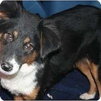 Adopt A Pet :: Diamond - Westfield, IN