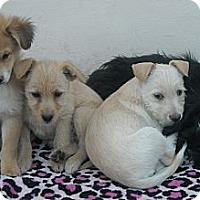 Adopt A Pet :: 4 puppies - San Ysidro, CA