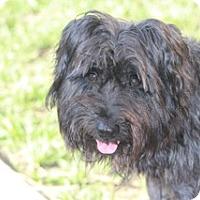 Adopt A Pet :: Calder-MEET HIM@DogGoneSmart - Norwalk, CT