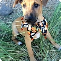 Adopt A Pet :: Chester - Scottsdale, AZ