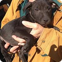 Adopt A Pet :: Levi- located in NY - Trenton, NJ