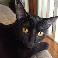 Domestic Shorthair Cat for adoption in Austin, Texas - Libby