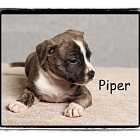 Adopt A Pet :: Piper - Warren, PA