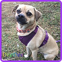 Adopt A Pet :: DeeDee - Hollywood, FL