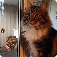 Domestic Mediumhair Cat for adoption in Bellevue, Washington - Della