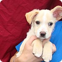 Adopt A Pet :: Sonic - Oviedo, FL