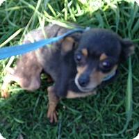 Adopt A Pet :: Tia - Manteca, CA