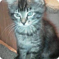 Adopt A Pet :: Brown tabby kittens - Floral City, FL