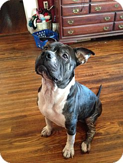 American Staffordshire Terrier Mix Dog for adoption in Waterford, Connecticut - Jeter