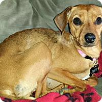 Adopt A Pet :: Koko - Indianapolis, IN