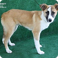 Adopt A Pet :: Balou - Paso Robles, CA