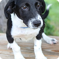 Adopt A Pet :: Corky - Waldorf, MD