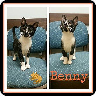 Domestic Shorthair Kitten for adoption in Steger, Illinois - Benny