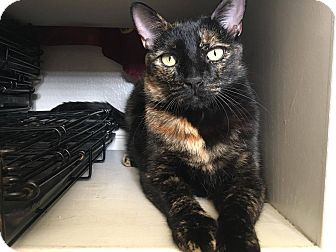 Domestic Shorthair Cat for adoption in Santa Ana, California - Glam (a loving chatterbox!)