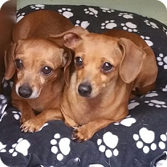 Dachshund Dog for adoption in Shreveport, Louisiana - Gabby and Miranda