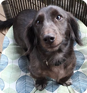 Dachshund Dog for adoption in Portland, Oregon - BOO