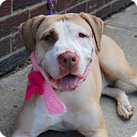 Labrador Retriever/American Pit Bull Terrier Mix Dog for adoption in Prospect, Connecticut - PENDING ADOPTION - Suri