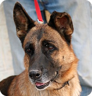 German Shepherd Dog Mix Dog for adoption in Palmdale, California - Daisy