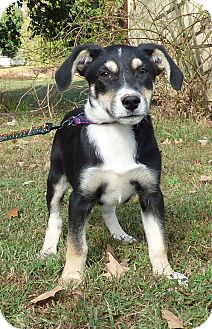 Beagle/Feist Mix Puppy for adoption in Bedminster, New Jersey - Val