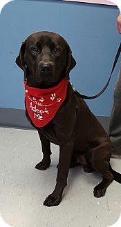 Labrador Retriever Mix Dog for adoption in Maryville, Illinois - Ozzie