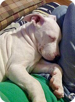 Boxer Mix Puppy for adoption in Cranston, Rhode Island - Storm