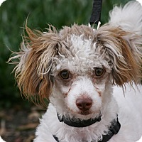 Poodle (Miniature) Puppy for adoption in Carlsbad, California - Mocha