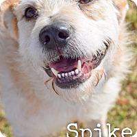 Adopt A Pet :: Spike - DFW, TX