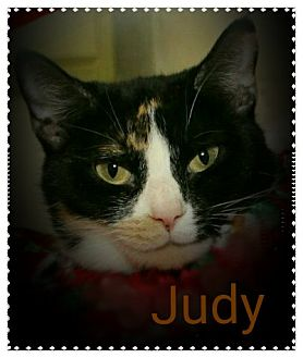 Domestic Shorthair Cat for adoption in Shippenville, Pennsylvania - Judy