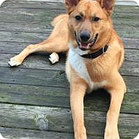 Adopt A Pet :: Tod the Fox - Midlothian, VA