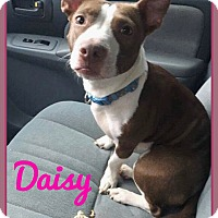 Adopt A Pet :: Daisy - Fort Wayne, IN