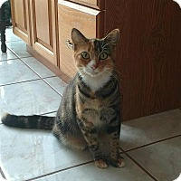 Adopt A Pet :: Calli - Tampa, FL
