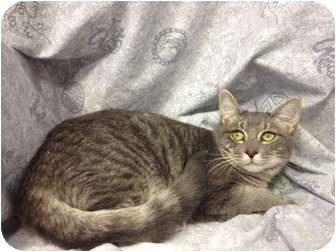 Domestic Shorthair Cat for adoption in Orlando, Florida - Axl