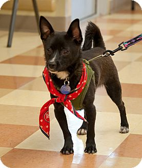 Schipperke/Chihuahua Mix Dog for adoption in Grass Valley, California - Timmy