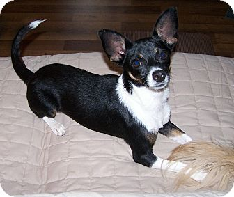 Chihuahua/Rat Terrier Mix Dog for adoption in San Angelo, Texas - Maya