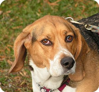 Beagle Dog for adoption in Rigaud, Quebec - Wilson