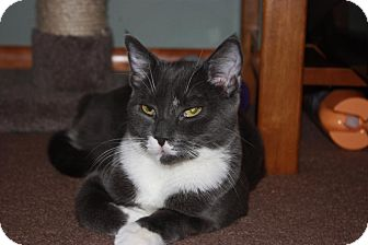 Domestic Shorthair Cat for adoption in Little Falls, New Jersey - Brutus (LE)