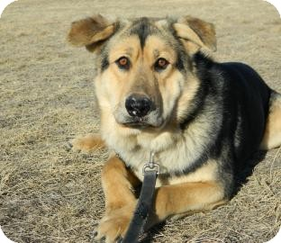 Shepherd (Unknown Type)/Siberian Husky Mix Dog for adoption in Cheyenne, Wyoming - Chief