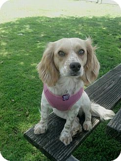 Cocker Spaniel/Beagle Mix Dog for adoption in Encinitas, California - Melly