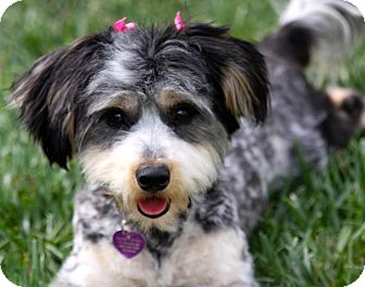 Havanese Mix Dog for adoption in Salt Lake City, Utah - RAINEY