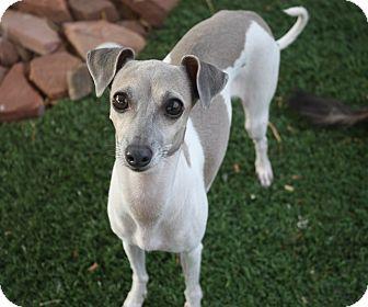 Italian Greyhound Mix Dog for adoption in Henderson, Nevada - Brindle